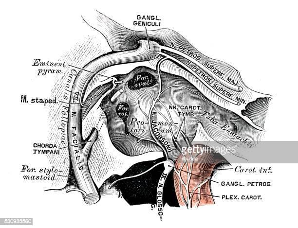 human anatomy scientific illustrations: tympanic nerve (nerve of jacobson) - pediment stock illustrations, clip art, cartoons, & icons
