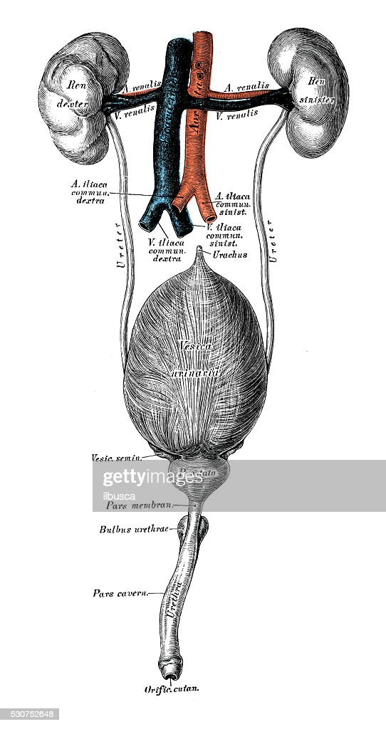 Human Anatomy Scientific Illustrations Urinary System Stock