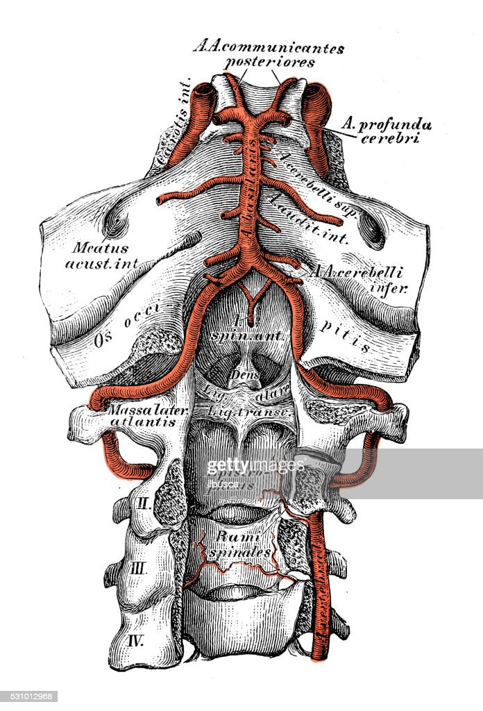 Human Anatomy Scientific Illustrations Vertebral Artery Stock