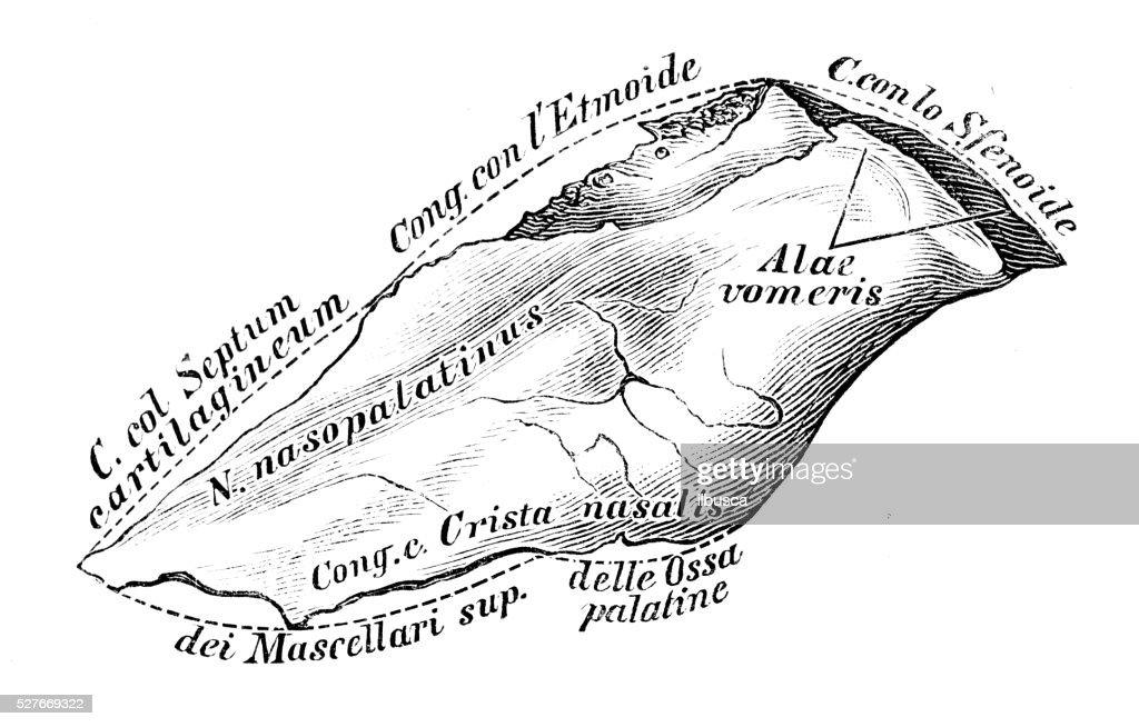 Human Anatomy Scientific Illustrations Vomer Bone Stock Illustration