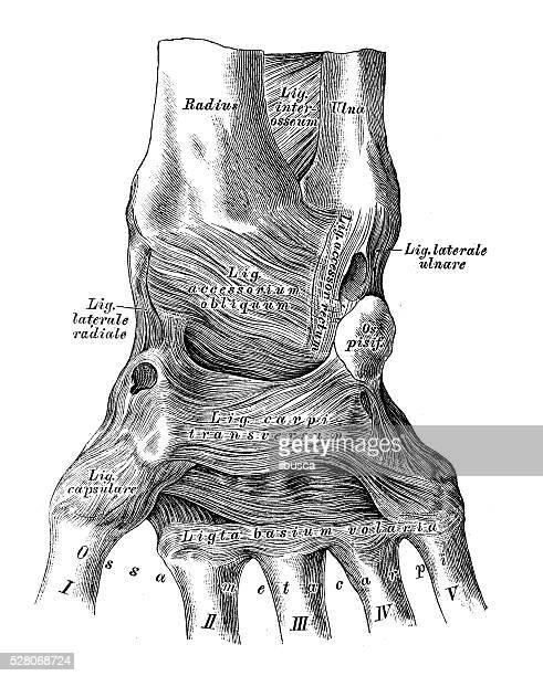 人体解剖学の科学的イラスト:手首の関節靱帯 - 靭帯点のイラスト素材/クリップアート素材/マンガ素材/アイコン素材