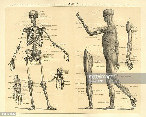 human anatomy skeleton and muscles of the body - menschliches körperteil stock-grafiken, -clipart, -cartoons und -symbole