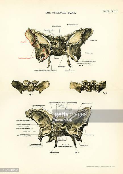 Anatomía humana; el hueso esfenoidal