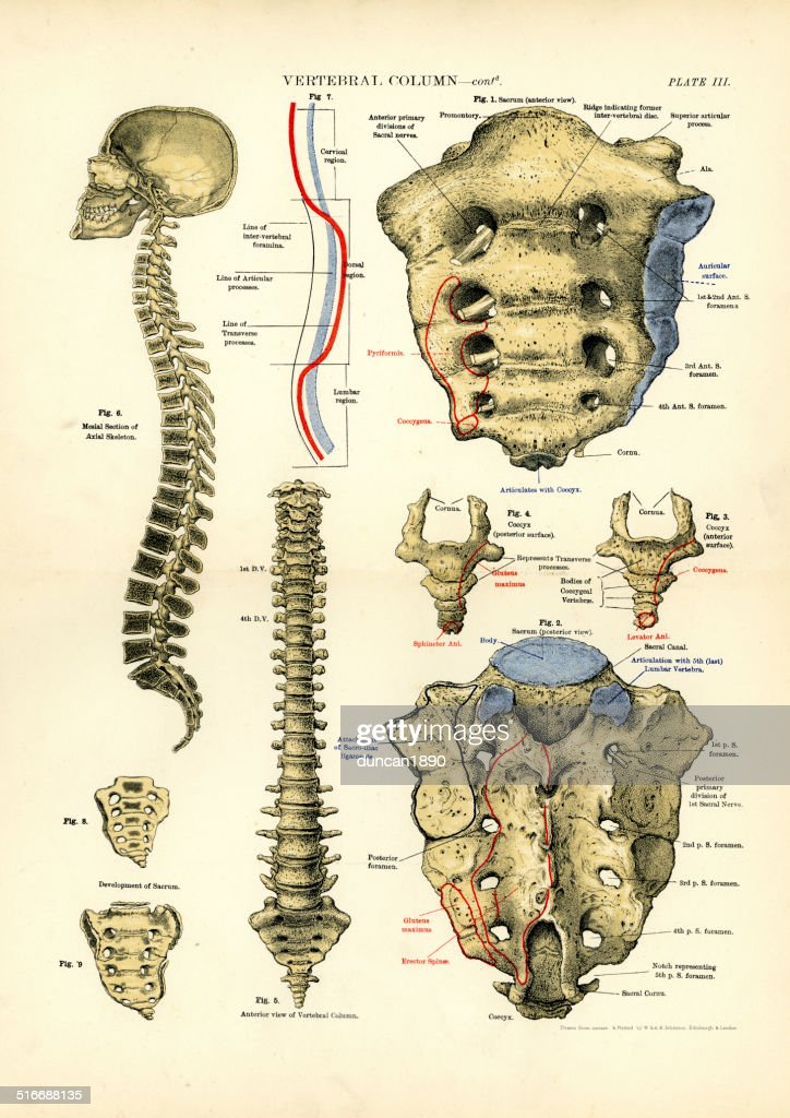 Human Anatomy Vertebral Column Stock Illustration Getty Images