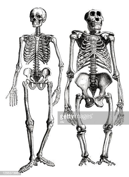 human and gorilla skeleton, side by side comparison - great ape stock illustrations
