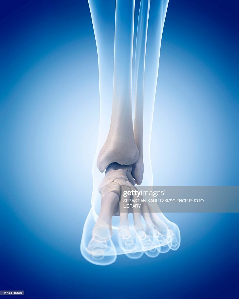Human Ankle Bones Stock Illustration Getty Images