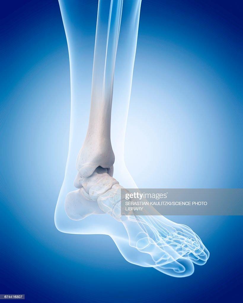 Human Ankle Bones Stock Illustration Getty Images