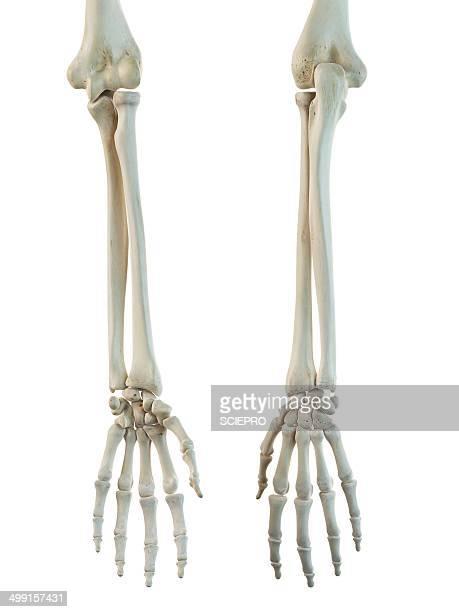 Human arm bones, artwork