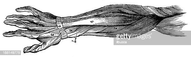 ilustraciones, imágenes clip art, dibujos animados e iconos de stock de brazo humano los músculos - músculo humano