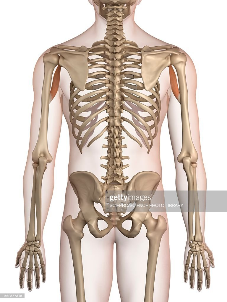 Human Arm Muscles Illustration Stock Illustration Getty Images