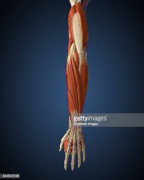 human arm with bone, muscles and nerves. - forearm stock illustrations, clip art, cartoons, & icons