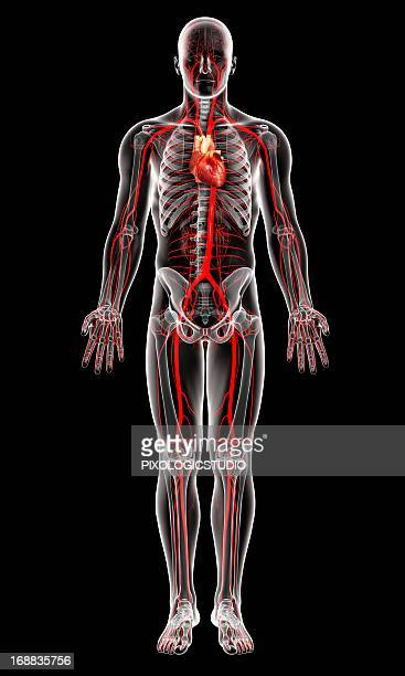 Human Artery Stock Illustrations And Cartoons | Getty Images