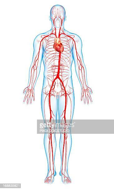 human arteries, artwork - blood vessel stock illustrations, clip art, cartoons, & icons