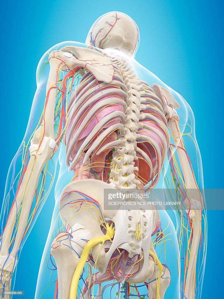 Human Back Anatomy Illustration Stock Illustration Getty Images