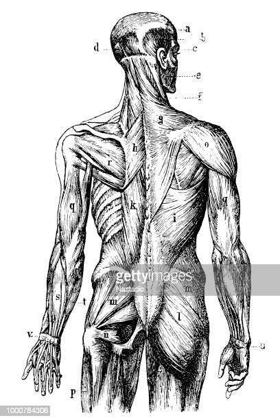 human back muscles - anatomy stock illustrations