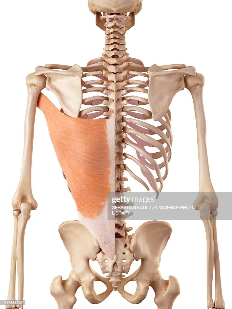 Human Back Muscles Stock Illustration Getty Images