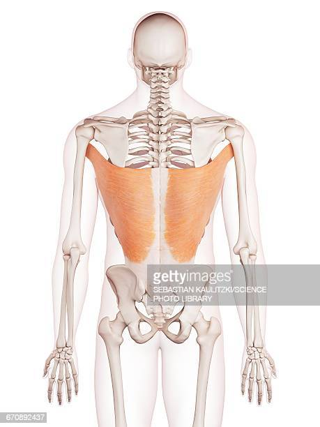 ilustrações, clipart, desenhos animados e ícones de human back muscles - parte do corpo humano