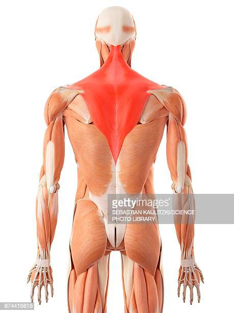 Human back muscles