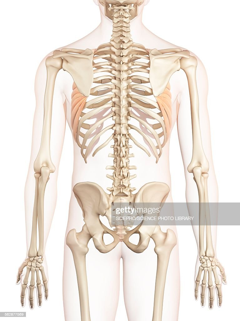 Human Back Muscles Illustration Stock Illustration Getty Images