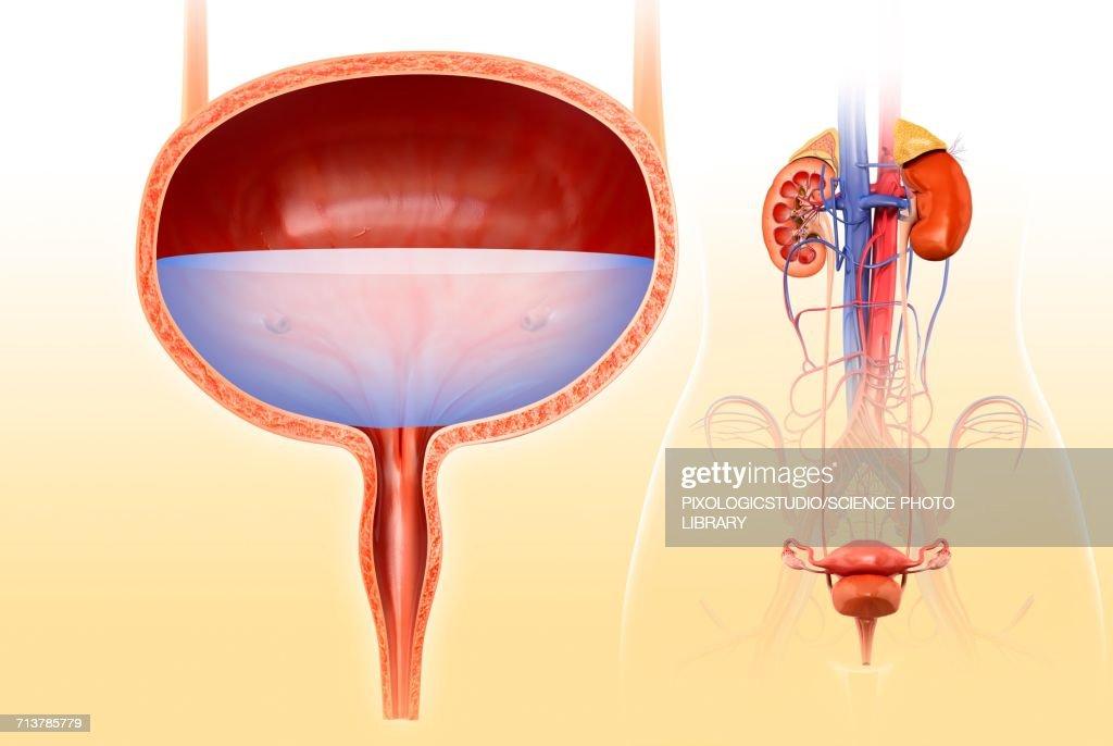 Human Bladder Anatomy Illustration Stock Illustration Getty Images