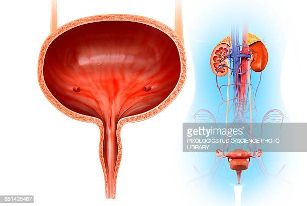 human bladder, illustration - bladder stock illustrations, clip art, cartoons, & icons