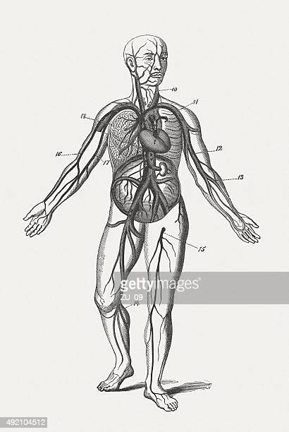 human blood circulation, wood engraving, published in 1884 - human blood stock illustrations, clip art, cartoons, & icons
