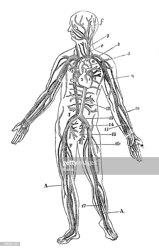 Human Blood Veins Stock Illustration Getty Images