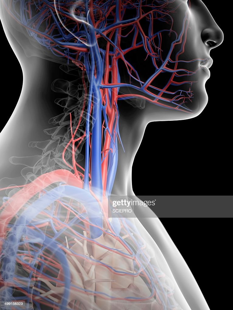 Human Blood Vessels In Neck Artwork Stock Illustration Getty Images