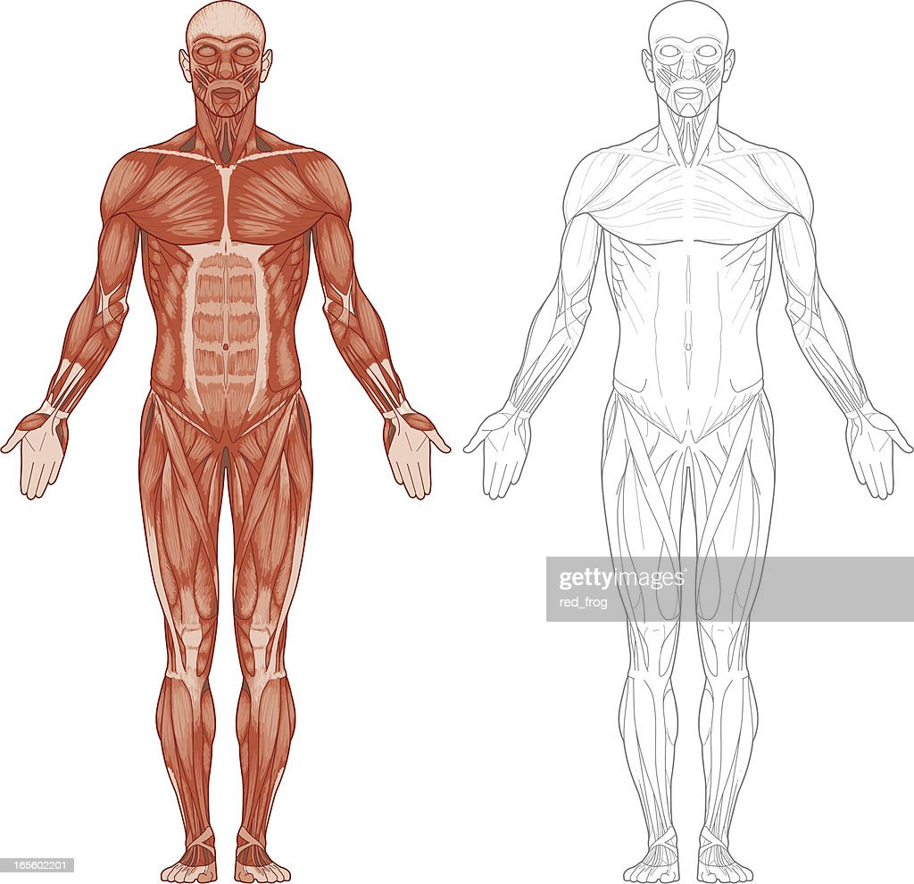 The Human Body Stock Illustrations And Cartoons Getty Images