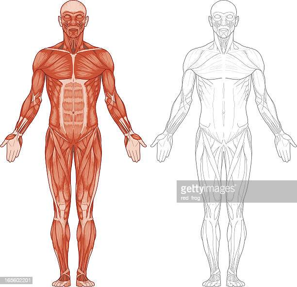 human body, muscles - anatomy stock illustrations