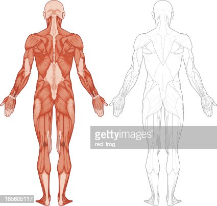 Human Body Muscles Vector Art Getty Images