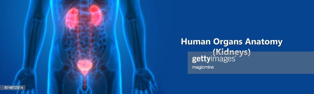 Menschlichen Körperorgane Stock-Illustration | Getty Images