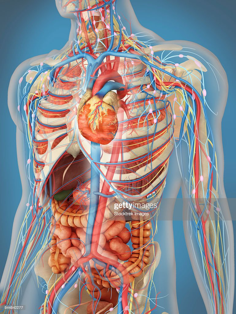 Human Body Showing Heart And Main Circulatory System Position Stock