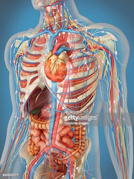 human body showing heart and main circulatory system position. - myocardium stock illustrations, clip art, cartoons, & icons