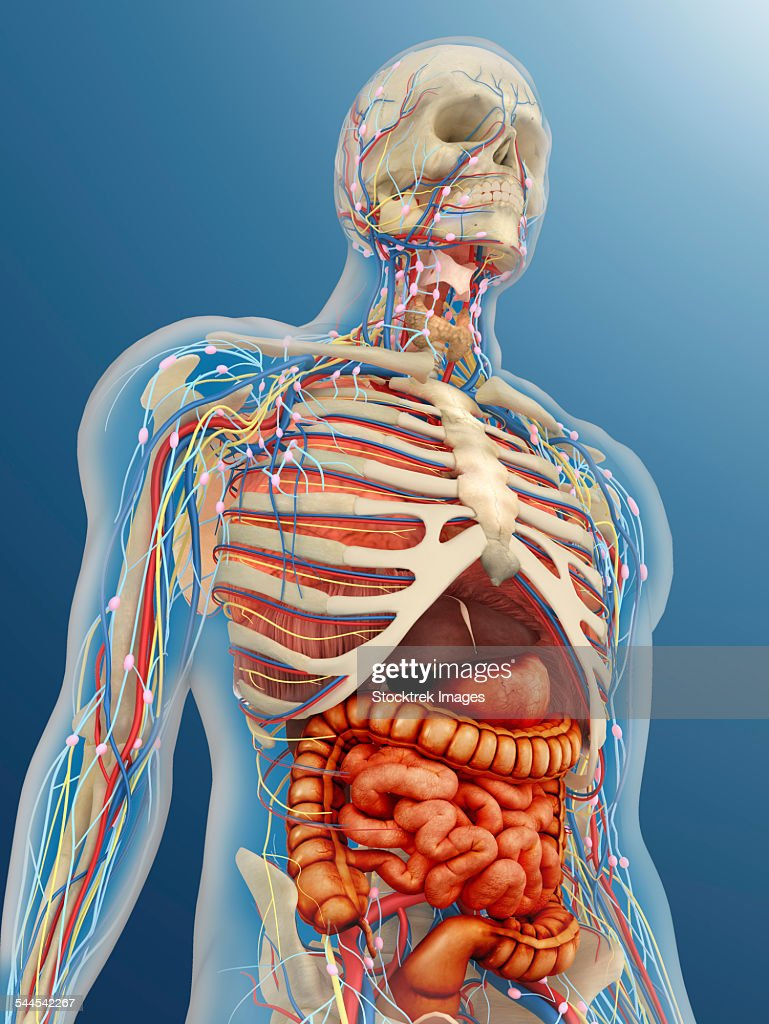 Human Body With Internal Organs Nervous System Lymphatic System And