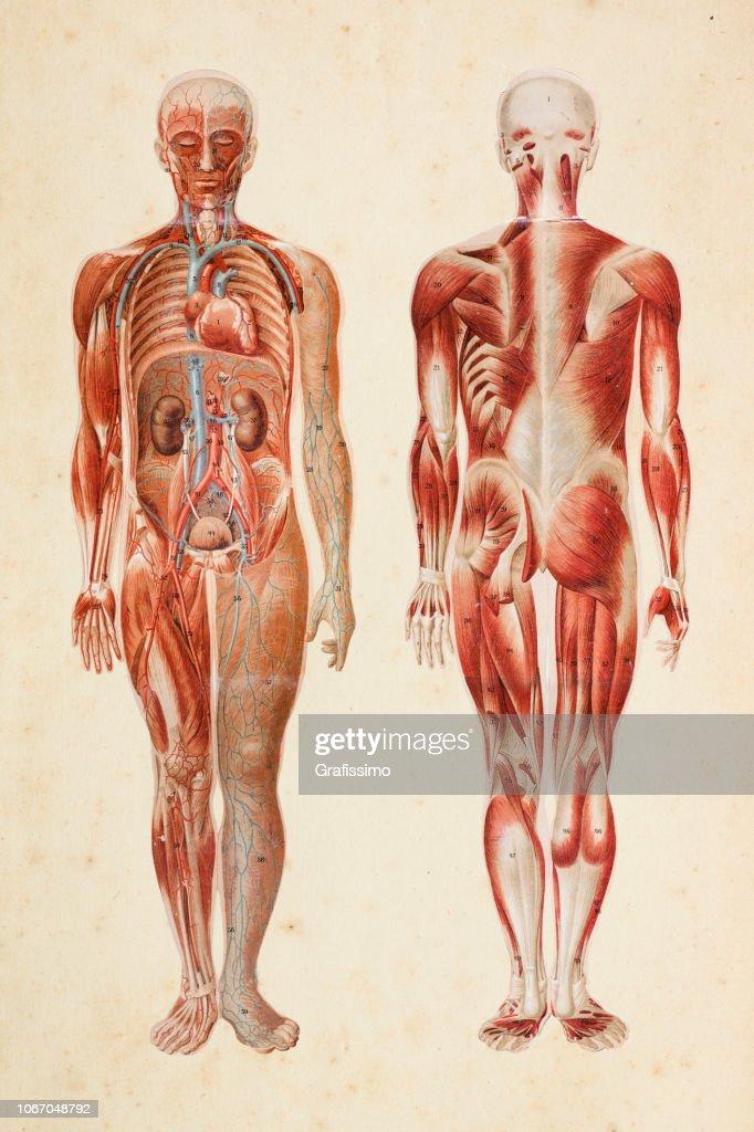 Menschlichen Körper mit Muskeln und inneren Organen : Stock-Illustration