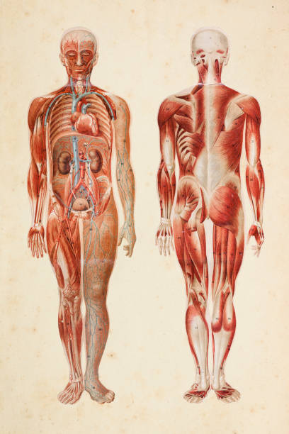 human body with muscles and internal organs - human body part stock illustrations