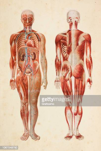 illustrazioni stock, clip art, cartoni animati e icone di tendenza di human body with muscles and internal organs - parte del corpo umano