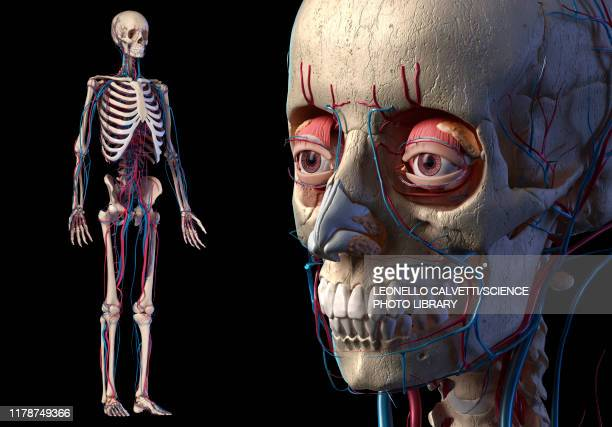 human bones and vascular anatomy, illustration - anatomy stock illustrations