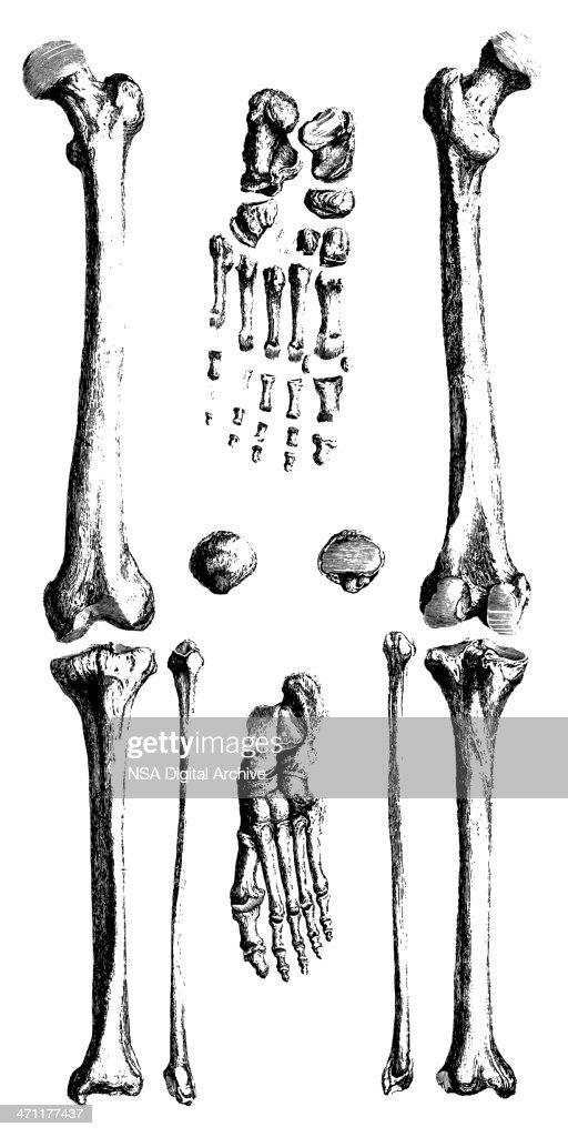 Human Bones Antique Medical Illustrations Stock Illustration Getty