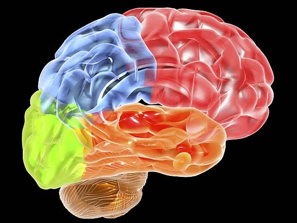 Human Brain Anatomy, Artwork Wall Art