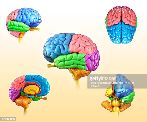 human brain anatomy, illustration - temporal lobe stock illustrations, clip art, cartoons, & icons