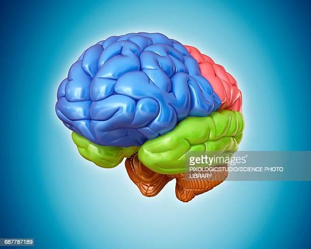 human brain anatomy, illustration - frontal lobe stock illustrations, clip art, cartoons, & icons