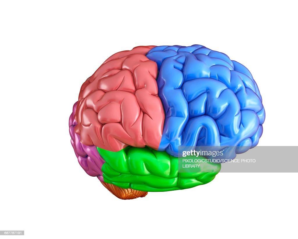 Human Brain Anatomy Illustration Stock Illustration Getty Images