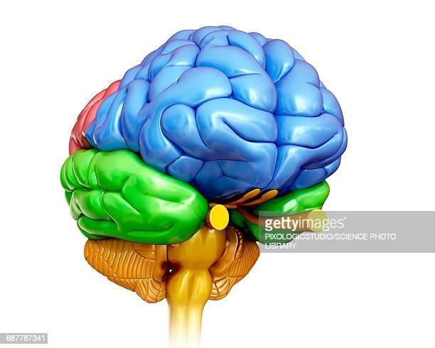 ilustrações, clipart, desenhos animados e ícones de human brain anatomy, illustration - lobo temporal