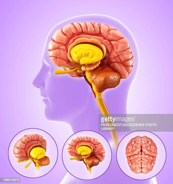 Human brain anatomy, illustration