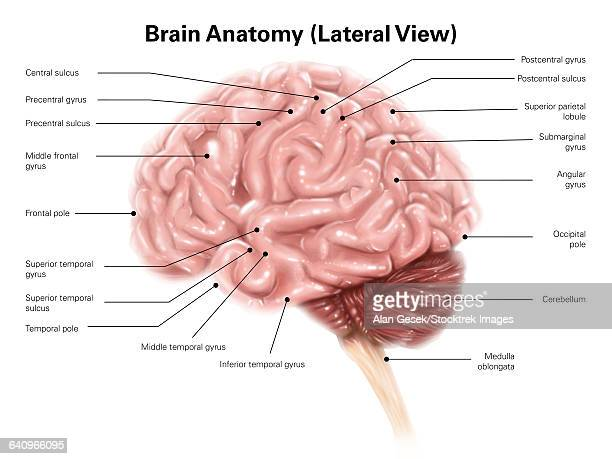 human brain anatomy, lateral view. - diencephalon stock illustrations, clip art, cartoons, & icons