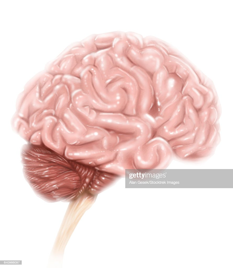 Human Brain Anatomy Lateral View With Labels Stock Illustration ...