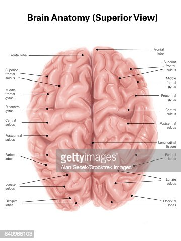 Human Brain Anatomy Superior View Stock Illustration | Getty Images
