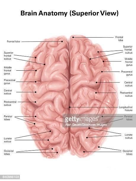 human brain anatomy, superior view. - cerebral cortex stock illustrations